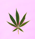 Cannabis. On a pink background Stock Image