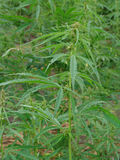 Cannabis plant. Large cannabis plant in full growth stage stock photography