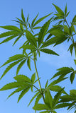Cannabis plant Royalty Free Stock Image