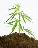 Cannabis plant Royalty Free Stock Images