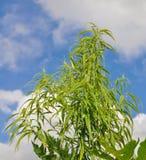 Cannabis plant against blue sky. Thailand cannabis plant against blue sky Stock Image