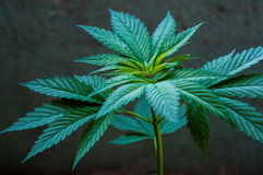 Cannabis plant close up Royalty Free Stock Image