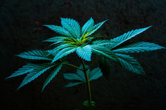 Cannabis plant close up Royalty Free Stock Images