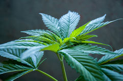 Cannabis plant close up Stock Images