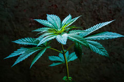 Cannabis plant close up Stock Photography