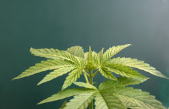 Cannabis stock image