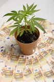 Cannabis plant and euro money Royalty Free Stock Photos