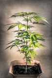Cannabis plant Stock Image