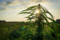 Cannabis plant in field Royalty Free Stock Photo