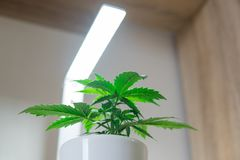 Cannabis Plant Growing. Marijuana leaves. Vegetation period. Indoor cultivation concept of growing under artificial light. royalty free stock photo