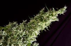 Cannabis plant Stock Photos