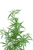 Cannabis plant. Royalty Free Stock Photos