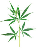 Cannabis plant isolated on white Stock Photo