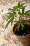 Cannabis plant and lot of euro Stock Photos