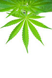 Cannabis plant Stock Images