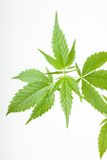Cannabis plant, marijuana on white background royalty free stock image