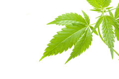 Cannabis plant, marijuana on white background Royalty Free Stock Photography