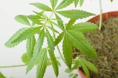 Cannabis plant, marijuana on white background Royalty Free Stock Images