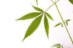 Cannabis plant, marijuana on white background Stock Photos