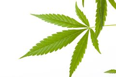 Cannabis plant, marijuana on white background Stock Photo