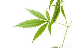 Cannabis plant, marijuana on white background Stock Images