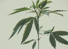 Cannabis plant - medical marijuana background Stock Images