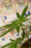 Cannabis plant and money from drug Stock Image