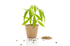 Cannabis plant and seeds. Stock Image