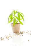 Cannabis plant and seeds. Royalty Free Stock Image