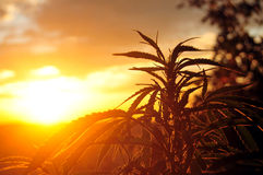 Cannabis plant at sunrise. Silhouette of cannabis plant in early morning light Stock Photo