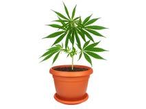 Cannabis planterar i en kruka Royaltyfri Bild