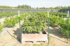 Cannabis plants. Commercial legal cannabis grow in Washington royalty free stock image