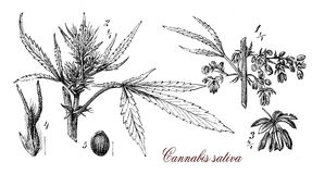 Cannabis sativa,botanical vintage engraving Royalty Free Stock Photos