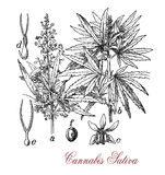 Cannabis sativa, botanical vintage engraving Stock Photo