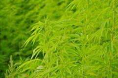 Cannabis Sativa (Hennep) Installaties stock foto