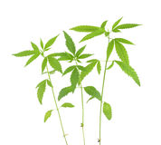 Cannabis sativa l plant on a white background Royalty Free Stock Photo