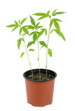 Cannabis sativa l plant on a white background Royalty Free Stock Photos