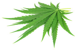 Cannabis sativa or medicinal marijuana leaves Stock Image