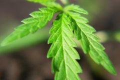 Cannabis seedling, cultivated by hemp farmers to produce different types of CBD products. Low THC technical cultivar with drug. Value stock photo