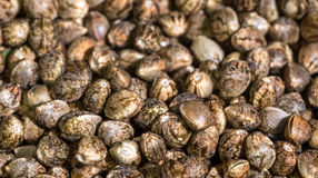 Cannabis seeds. Some dried cannabis/marijuana seeds stock image