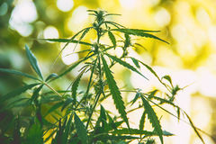 cannabis Selektivt fokusera Royaltyfri Bild