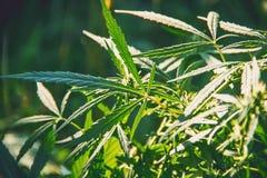 cannabis Selektivt fokusera Royaltyfria Bilder