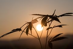 Cannabis silhouette at sunset, marijuana grows in the field, marijuana farm royalty free stock photos