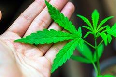 Cannabis sur un fond foncé photo libre de droits
