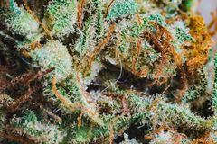 Marijuana, cannabis macro trichomes thc flower Sativa critical never haze. Shallow focus effect. Stock Photos