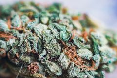 Marijuana, cannabis macro trichomes thc flower Sativa Tangiematic. Shallow focus effect. Cannabis trichomes macro photo of plant marijuana bud health Royalty Free Stock Photography