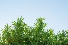 Cannabis weed leaves. Against a blue sky, outdoor growing, farm in america stock photos