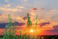 Cannabisblad, medische marihuana Cannabisbloemen en zaden binnen stock afbeeldingen