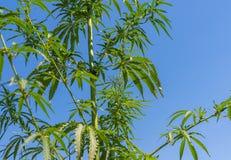 Cannabisblad, medische marihuana Cannabisbloemen en zaden op groen gebied met achterlicht De bladeren die van de marihuanainstall royalty-vrije stock fotografie