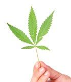 Cannabisbladeren in een hand Stock Foto's